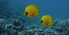 A tracking, close up shot of a pair of yellow, blue-cheeked butterflyfish, Chaetodon semilarvatus swimming above the coral reef.