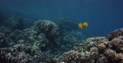 A wide shot of a pair of yellow, blue-cheeked butterflyfish, Chaetodon semilarvatus over a stunning coral reef.