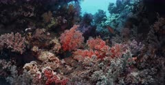 A wide shot of multiple colored soft corals and a coral rock cod, Cephalopholis miniata on a healthy coral reef.