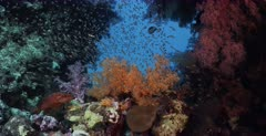 A wide shot of a school of shimmering Largespined Glassfish,Ambassis macracanthus and a coral rock cod fish with orange,pink and purple soft corals.