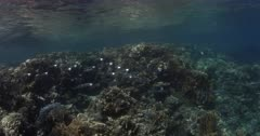 A tracking shot of a school of Striped Mackerels hunting for food with their mouths open next to a pristine coral reef.