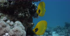 A close up shot of a pair of yellow, blue-cheeked butterflyfish, Chaetodon semilarvatus looking towards the camera