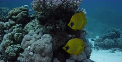 A reveal, close up shot of a pair of yellow, blue-cheeked butterflyfish, Chaetodon semilarvatus