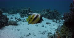 A a pair of endemic Red Sea Bannerfish, Heniochus intermedius swim together.