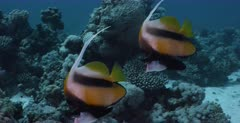 A tracking,close up shot of a pair of endemic Red Sea Bannerfish, Heniochus intermedius swimming together.