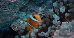 A close up of an adult Two-banded Anemonefish,  Amphiprion bicinctus and its tiny juvenile in their bubble anemone.