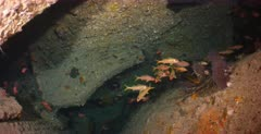 Schools of Yellowfin Goatfish, Mulloidichthys vanicolensis and Soldierfish inside the Dunraven Shipwreck.