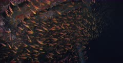 A large school of Golden sweeper fish swirl inside the Dunraven Shipwreck. Note the lion fish waiting to hunting.