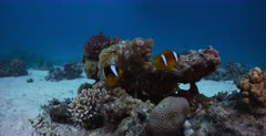 A closeup shot of a Two banded Anemonefish, Amphiprion bicinctus in its anemone on the coral reef.