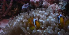A closeup shot of two  Two banded Anemonefish, Amphiprion bicinctus  in its bubble anemone on the coral reef.