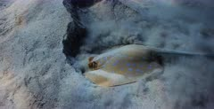 A close up shot of a Pregnant female Bluespotted Ribbontail Ray, Taeniura lymna  hunting for food in the sea sand.
