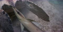 A close up, tracking shot of a Remora fish with its mouth right close to the anus of a green turtle,waiting for the Turtle to poop.