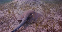 A close op shot of a Bluespotted Ribbontail Ray, Taeniura lymna  hunting for food in the Sea grass