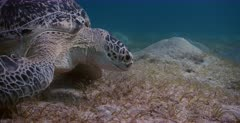 An extreme close up shot of a Green Sea Turtle, Chelonia mydas eating and chewing grass. Note its teeth.