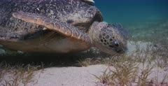 An extreme close up shot of the head of a Green Sea Turtle, Chelonia mydas eating and chewing grass moves towards the camera .Note its teeth.