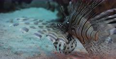 A close up shot of a Lionfish hunting.