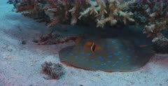 A close up shot of a Bluespotted Ribbontail Ray hiding under the coral reef.