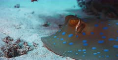 A close up shot of the face of a Bluespotted Ribbontail Ray hiding under the coral reef.