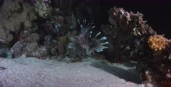 A Close up shot of a Lionfish catching food at night and swallowing it.