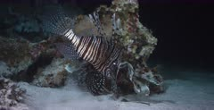A Close up shot of a Lionfish hunting and catching a fish to eat, at night.