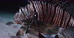 A Close up shot of the face of a Lionfish swallowing food.