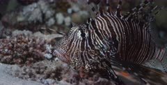 A Close up shot of the face of a Lionfish facing the camera. Note the wriggling fish inside its tummy when the Lionfish turns to a side view