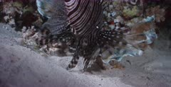 A Close up shot of a Lionfish catching a fish, at night and swallowing it.