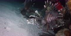 A tracking shot of two Lionfish hunting at night.