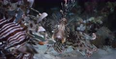 A close up shot of two Lionfish hunting at night.
