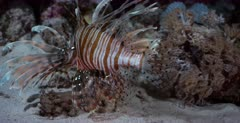 A close up shot of a Lionfish hunting at night, that gets away under the coral.
