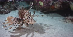 A close up shot of two Lionfish hunting at night but swims past two fish.