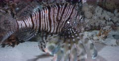 A close up, tracking shot of a Lionfish hunting at nigh but the fish use the coral reef for protection.