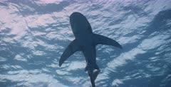 A close up  shot of  an Oceanic Whitetip Shark, with its Pilot Fish, swimming above the camera.