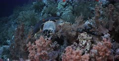 A Close Up shot of a Hawksbill Turtle, Eretmochelys imbricata biting off soft coral, using its front legs to help.