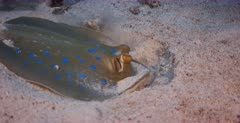 A close up shot of a Bluespotted Ribbontail Ray hunting and digging in the sea sand.