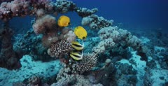 Two pairs of blue cheeked butterflyfish,Chaetodon semilarvatus and Red Sea Banner fish on the coral of the Heaven One Shipwreck.