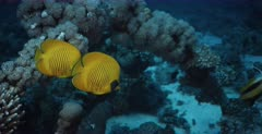 Close up of Two pairs of blue cheeked butterflyfish,Chaetodon semilarvatus and Red Sea Banner fish on the coral of the Heaven One Shipwreck.