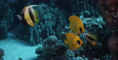 Close up of Two pairs of blue cheeked butterflyfish,Chaetodon semilarvatus and Red Sea Banner fish on the coral reef  next to the Heaven One, Shipwreck.