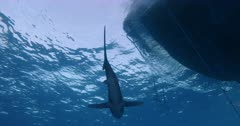 A close up shot of an Oceanic Whitetip Shark swimming above the camera,past a boat