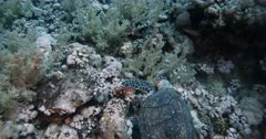 A Hawksbill Turtle, Eretmochelys imbricata searching for food.