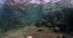 A wide shot of a school of Bluestreak Fusilier fish under the jetty at Brothers