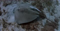 A Black Spotted Ray and a Remora hunting
