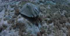 A Close Up shot of a Black Spotted Ray and a Remora hunting