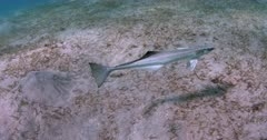 A close up, tracking shot of a Remora searching for a host to suck onto.
