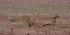 A wet parent and her juvenile Cape fox, Vulpes chama out of their burrows after the rain storm.