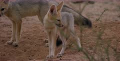 A close up of a juvenile Cape fox, Vulpes chama chewing apiece of intestine while its sibling watches.
