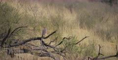 A medium shot of a Gabar Goshawk , Micronisus gabar bird hunting for food, then it flies off into the distance.