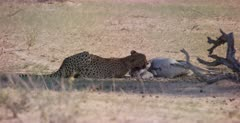 A medium shot of a Cheetah, Acinonyx jubatus chewing the hind leg of the Springbok it killed. Note Dust blowing past.
