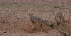 Two juvenile Cape foxes, Vulpes chama out of their burrows after the rain, shaking off water, when the one then trots off to her wet parent.