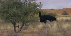 A tracking shot of an Adult Male Ostrich, Struthio camelus walking trough the grass and eating off the ground, keeping guard.